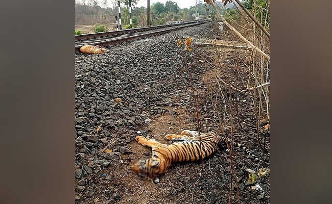 Tiger Cub Hit By Train, 'May Have Gotten Stuck On Tracks', Says Madhya Pradesh Official