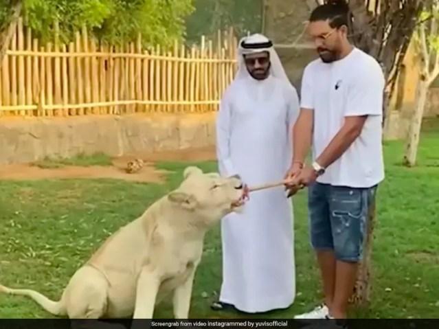 देखें: युवराज सिंह ने रस्साकशी में एक शेर को लिया, वीडियो वायरल