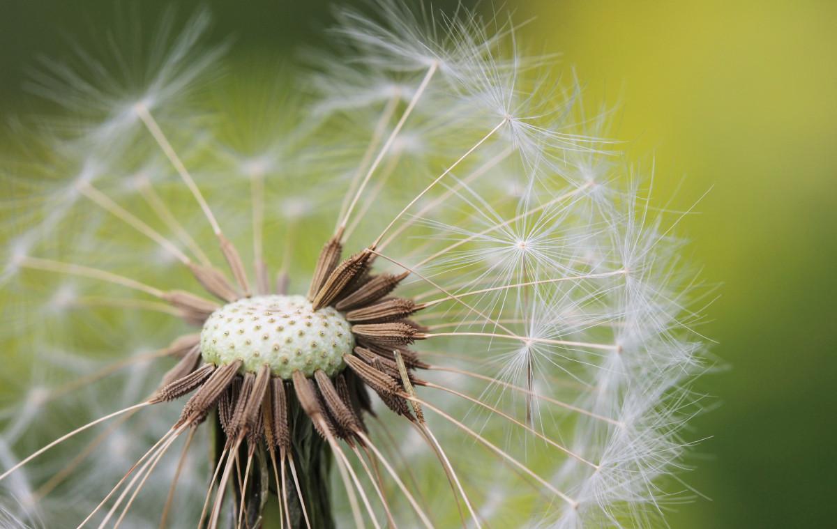 Free Images Nature Dandelion Leaf Flower Green