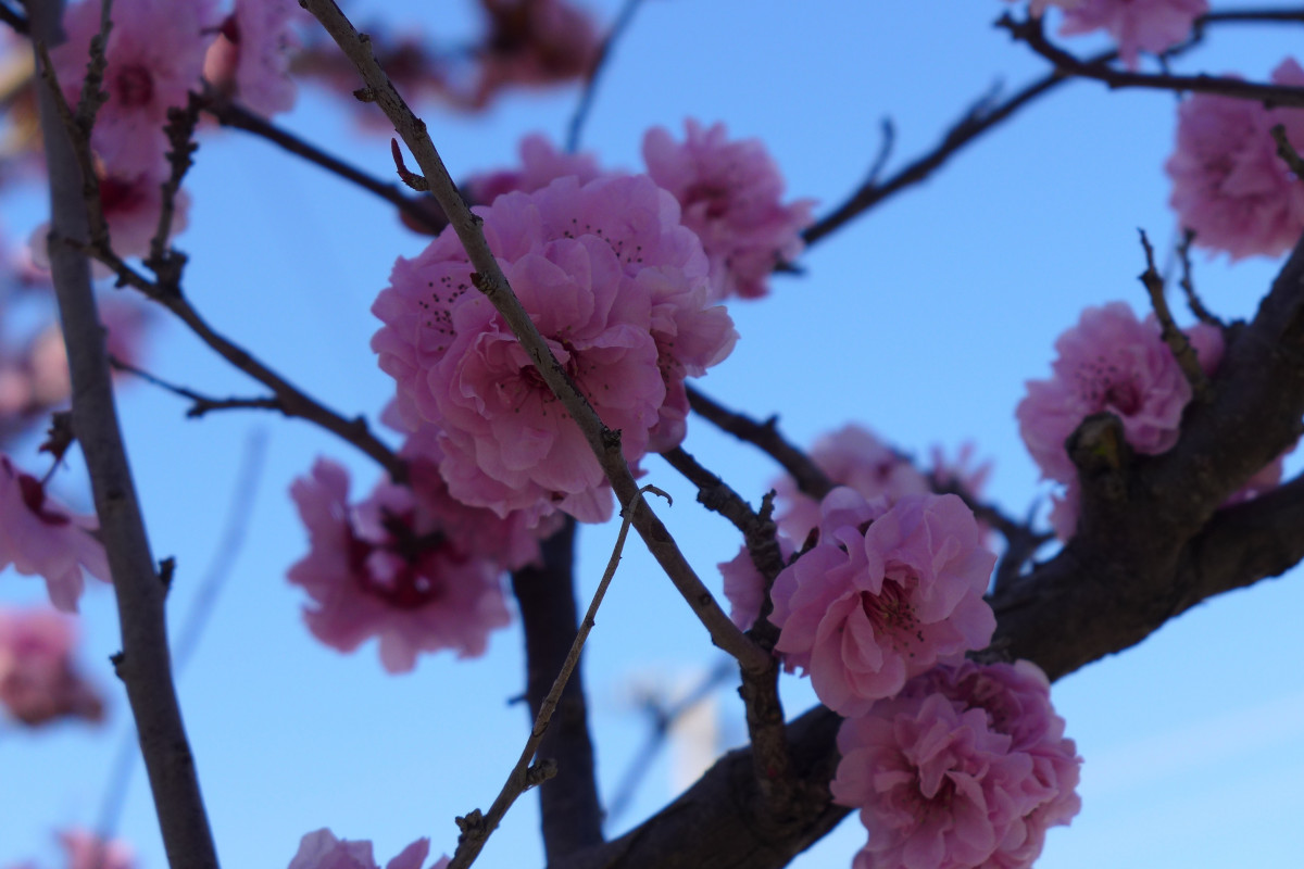 Free Images Tree Nature Branch Flower Petal Spring
