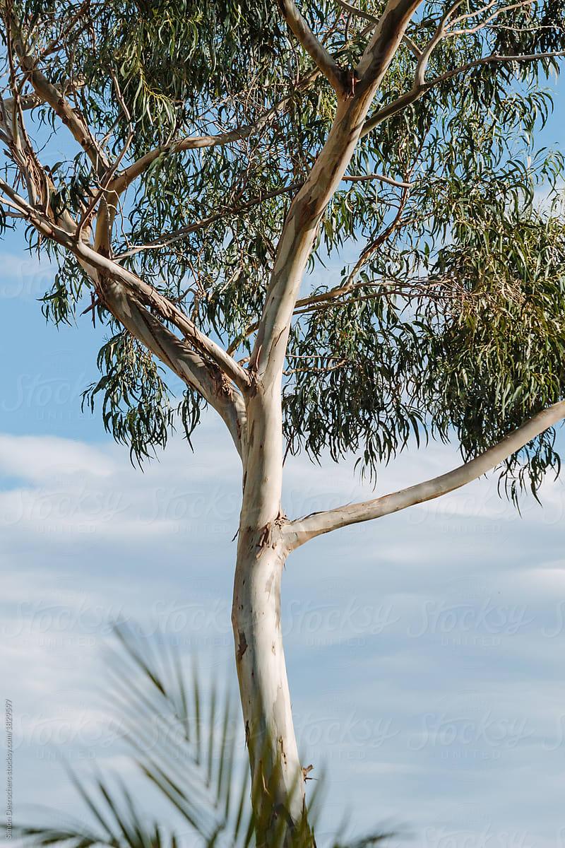 Eucalyptus Tree In Madeira By Simonfocus Stocksy United