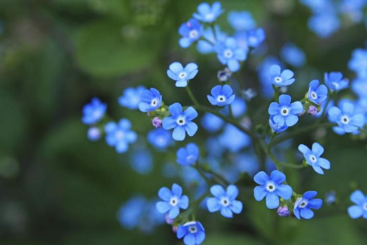 Fun Holiday     Forget Me Not Day A bouquet of forget me not flowers