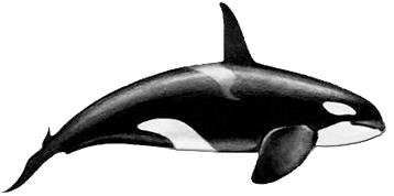 killer whales orcinus orca physical characteristics