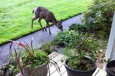 Deer feasting on plants in a yard