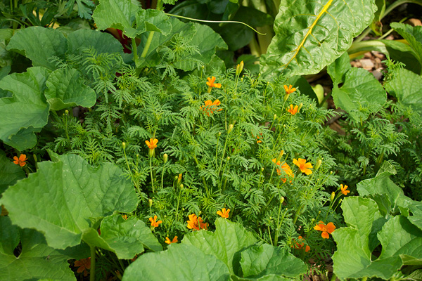 Cantaloupe and marigolds