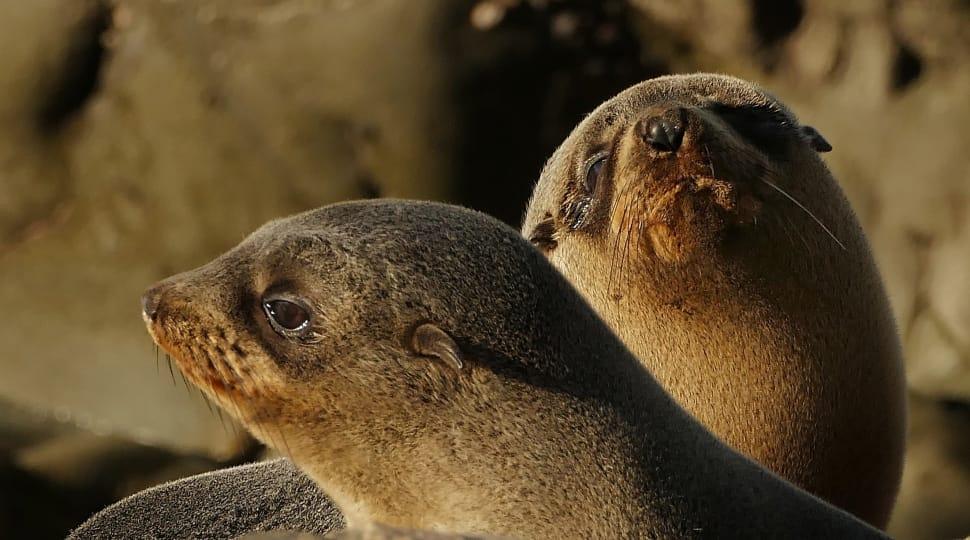 Fur Seals (Otarie orsine)