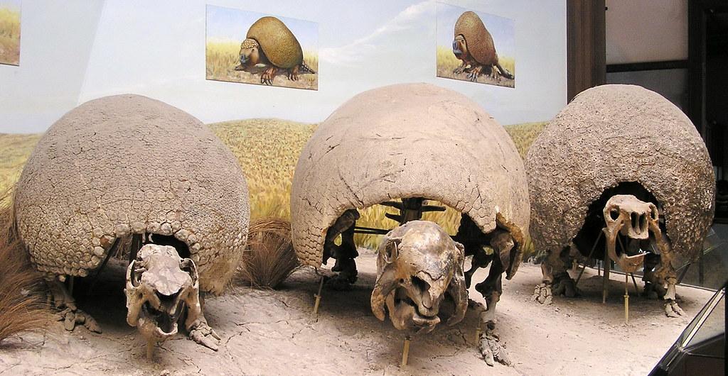 Paleontologia Esqueleto de Gliptodonte Museo de La Plata Argentina 151
