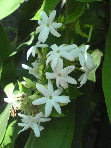 Jasmine Common Name Indian Jui Juhi जूही Hindi