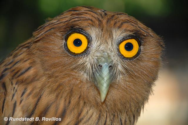 Philippine Eagle Owl Philippine Eagle Owl Bubo