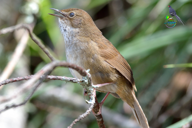 臺灣叢樹鶯.Taiwan Bush Wrabbler.2015/05/30 – alder-birds