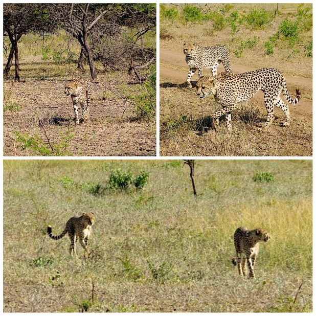 Guepardos en Sudafrica