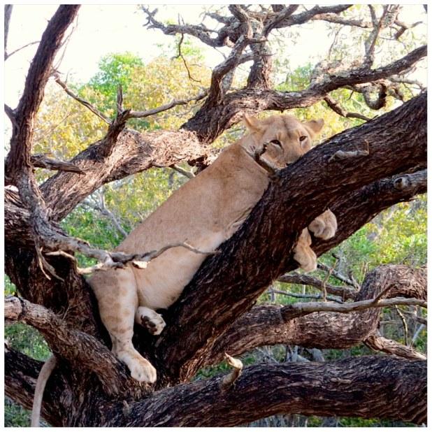 Leon subido en un arbol Africa