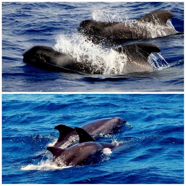 Calderon tropical y delfin mular Tenerife