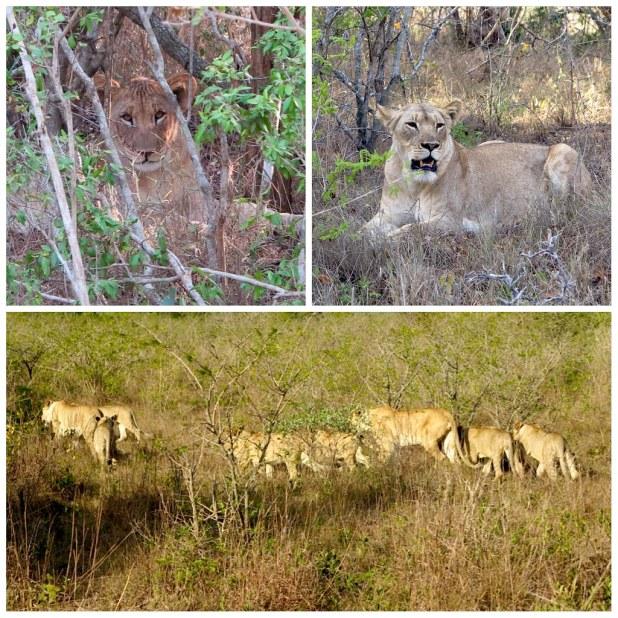 Grupo de leones sudafrica