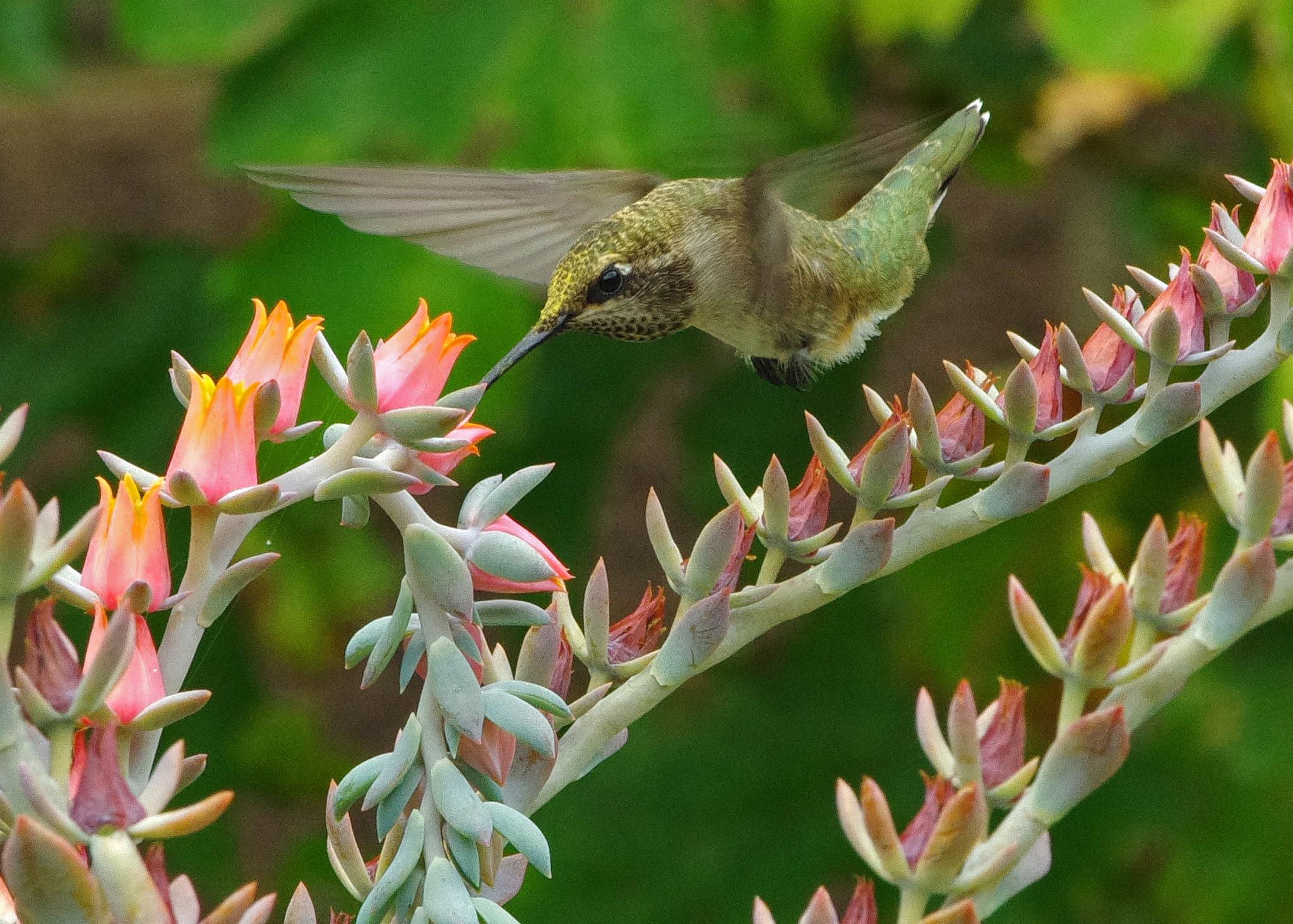 Black-chinned Hummingbird (Archilochus alexandri), imm. male; Echeveria flowers (a pot plant, succulent); Albuquerque, New Mexico, USA.