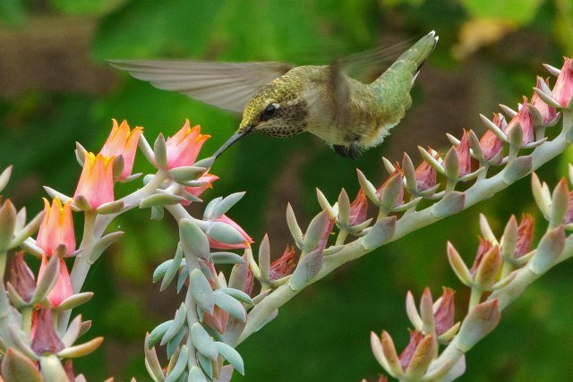 Black-chinned Hummingbird (Archilochus alexandri), imm. male; Echeveria flowers (a pot plant, succulent); Albuquerque, New Mexico, USA.