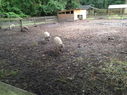 Mangalitsa Pigs at La Provence, Lacombe LA