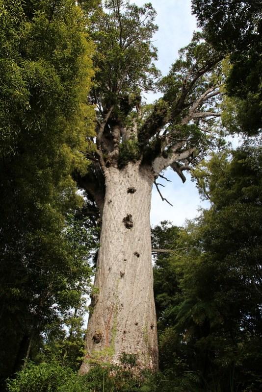 Tane Mahuta, Waipoua Forest, New Zealand