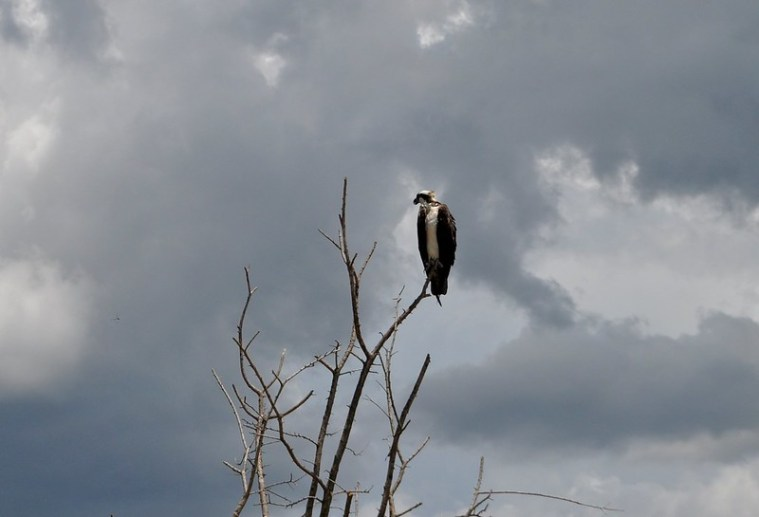 An osprey spotted along the Lake Apopka Wildlife Drive, May 31, 2015.