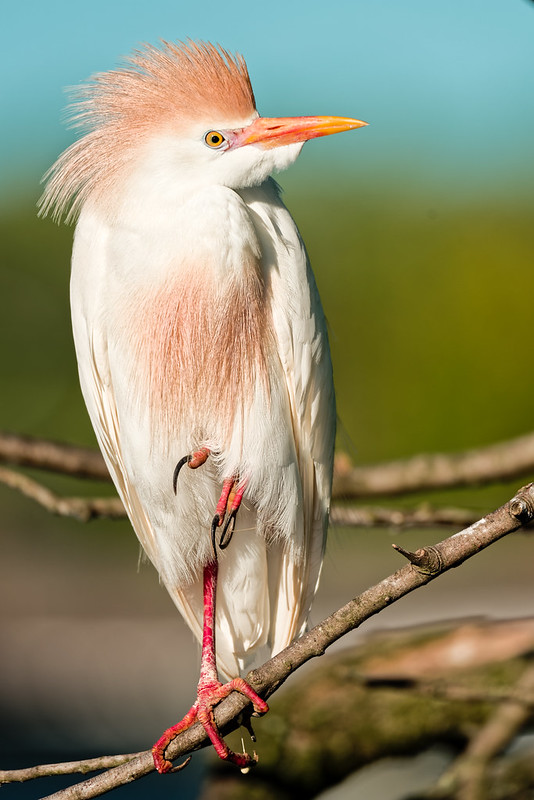 Cattle Egret - posing in breeding colors
