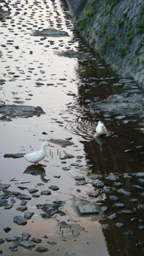 純白野生鴨,萌味十足