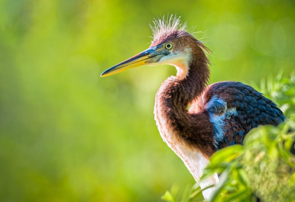 "A juvenile Tri-colored Heron, (with a typical ""hair-do"")"