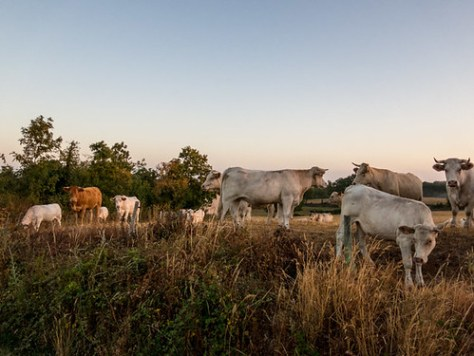 Charolais cattle