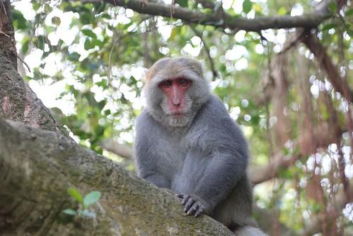 【爬山】2017元旦:又往柴山,生氣的猴子尿尿了(12.5ys)