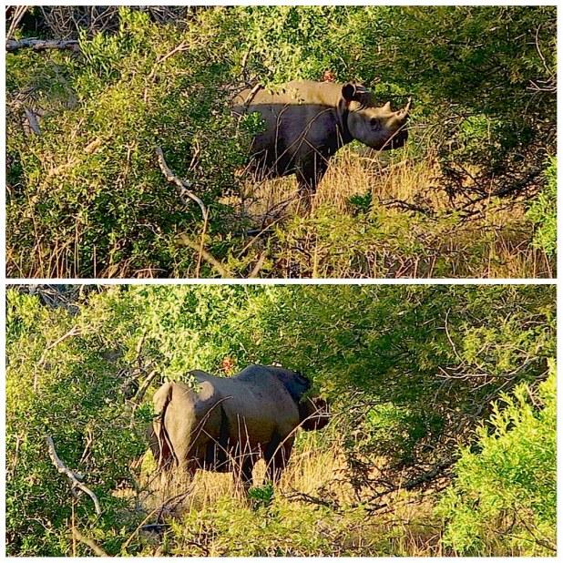Rinoceronte negro sudafrica