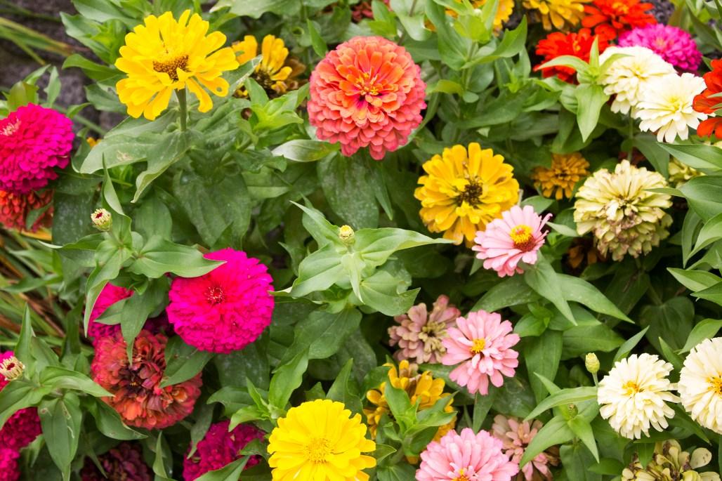historic-delaware-zinnia-flowers