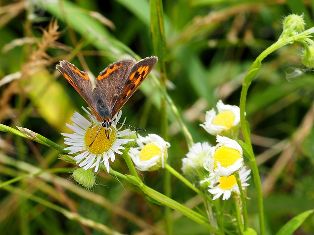 Common copper butterfly (Lycaena phlaeas, ベニシジミ)