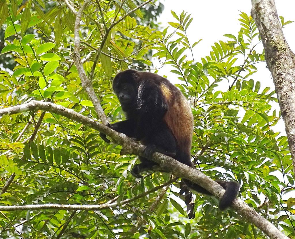 Mono aullador Parque Volcan Arenal La Fortuna Costa Rica 05