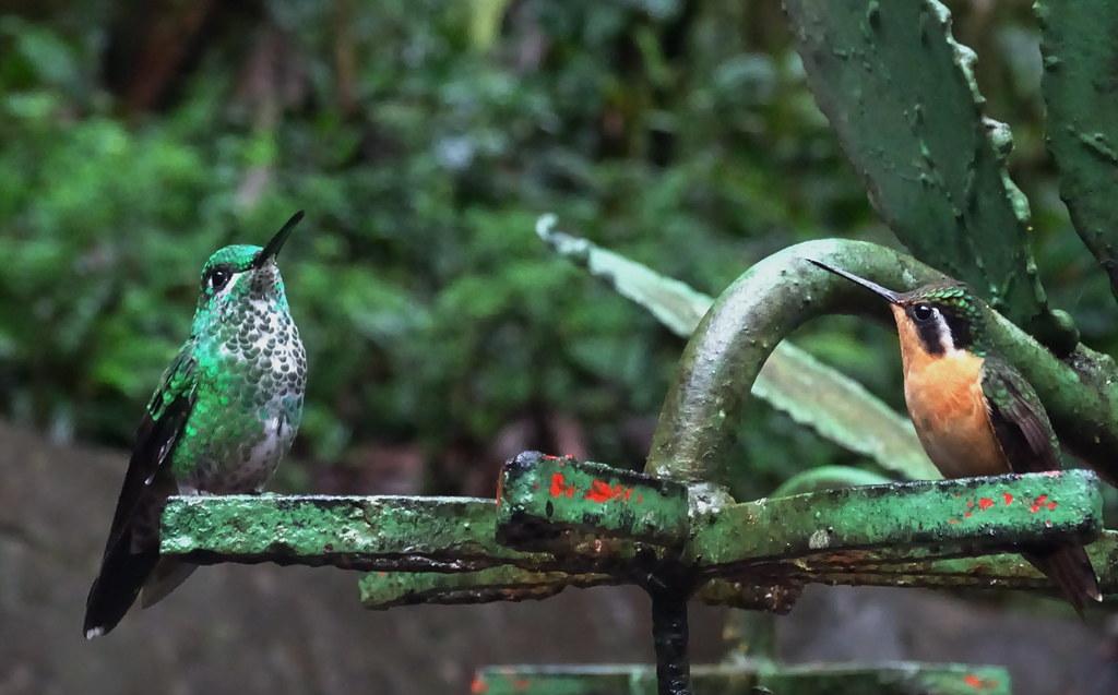 Colibri Selvatura Park Monteverde Costa Rica 04