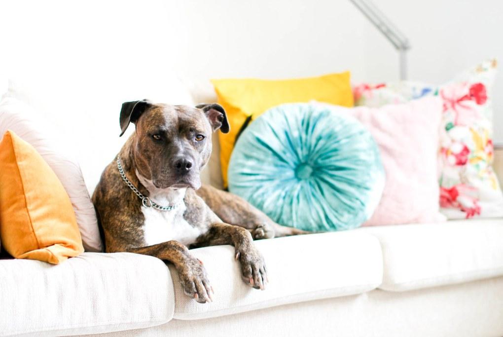 Arizonan koirani Java paras ulkomailta tuotu asia