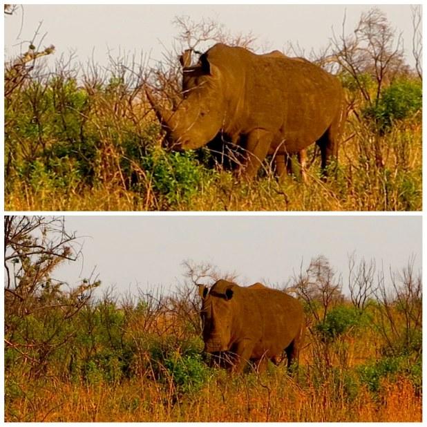 Rinoceronte blanco sudafrica