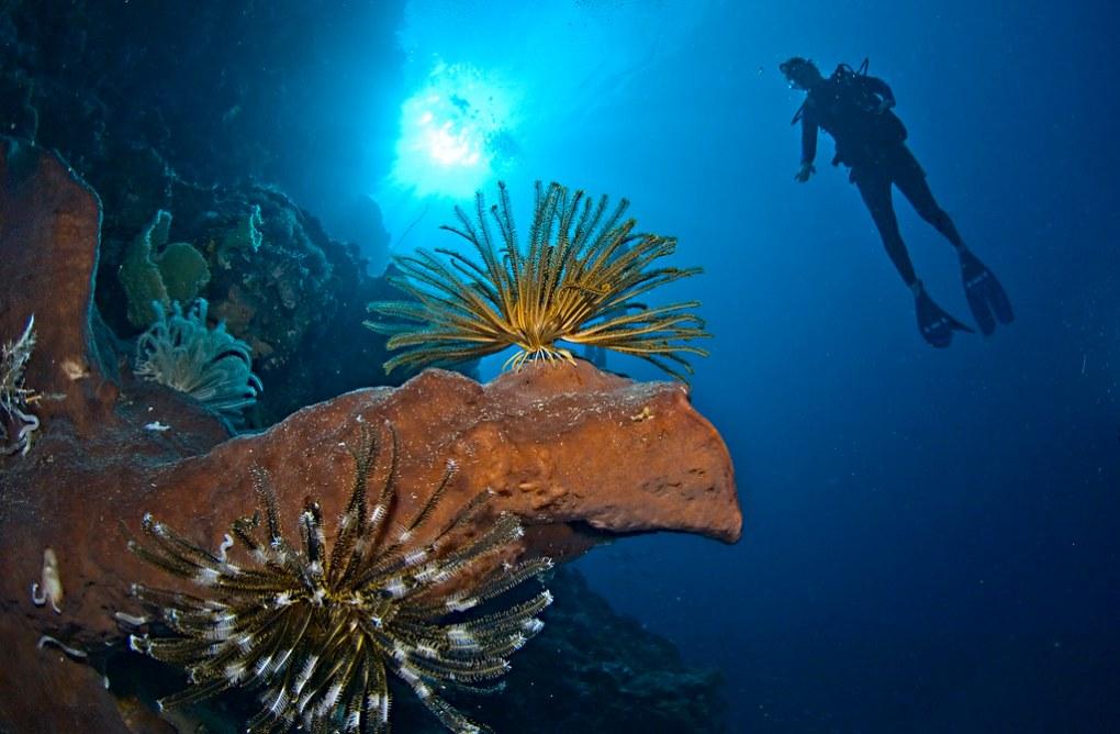 Diver and Crinoids on sponge, Banda sea, Indonesia