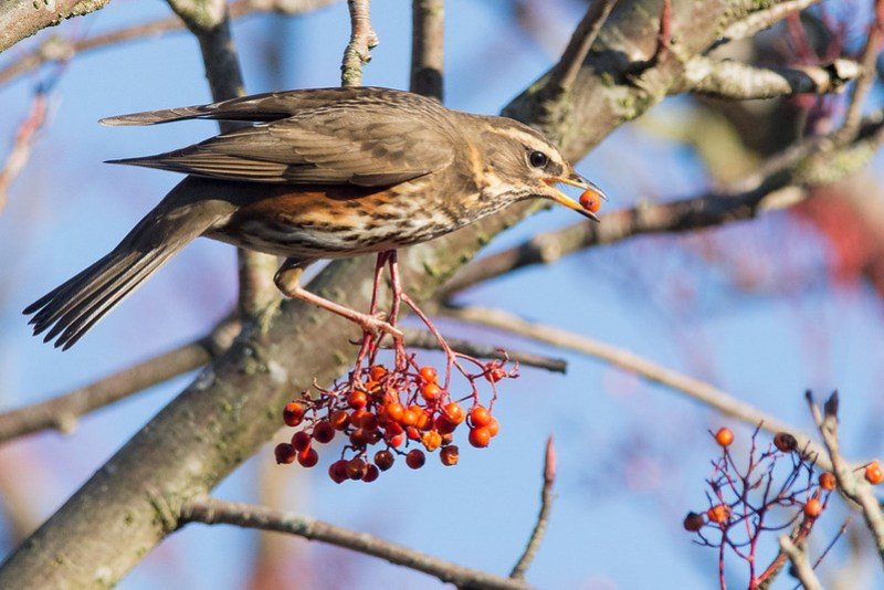 Rowan berries being enjoyed by a Redwing.