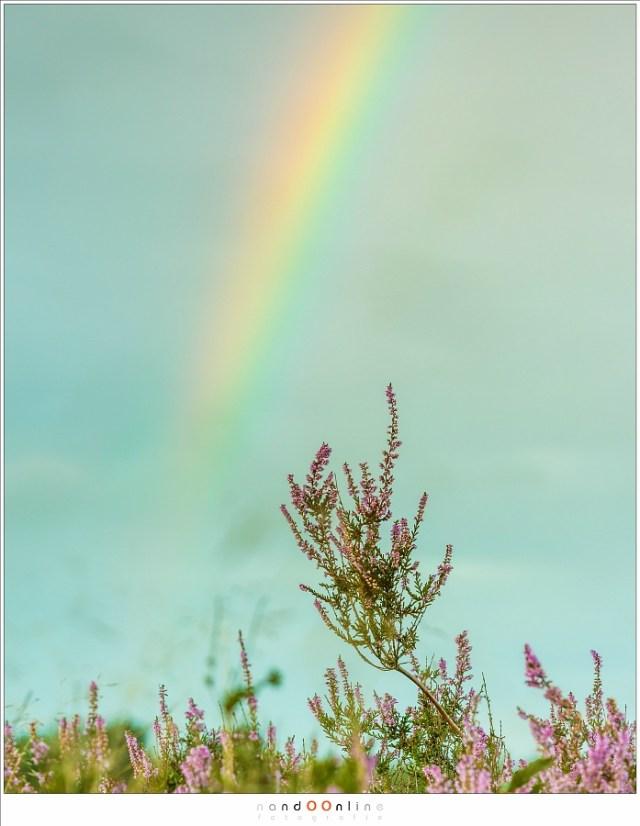 Zo kan het ook; een heidefoto met op de achtergrond een regenboog. die regenboog hoeft niet eens in focus te zijn. (Canon EOS 5D3 + EF70-200L II @ 140mm | ISO200 | f/8 | 1/30)