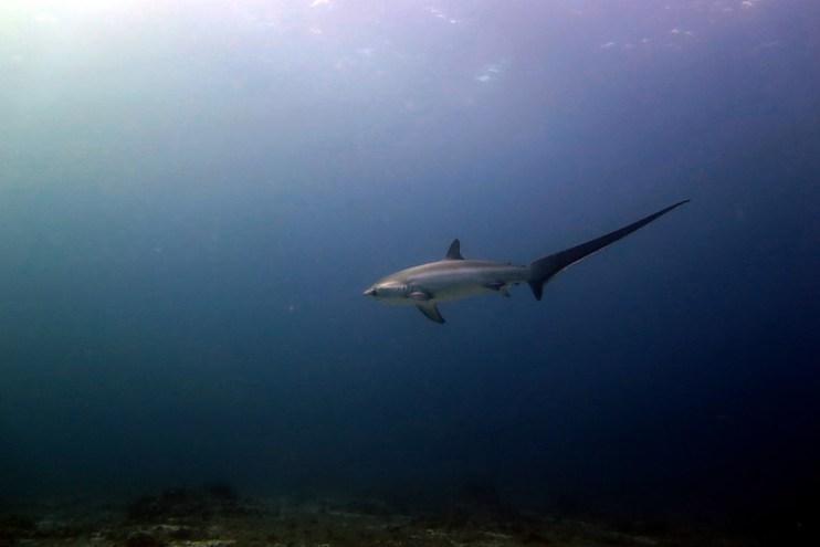 Thresher Shark, tiburón zorro o azotador
