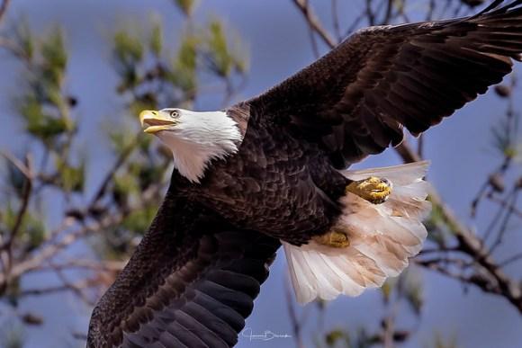 BC Bald Eagle Female 6
