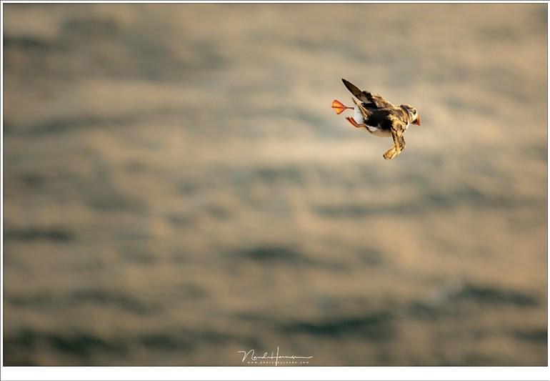 Het zijn acrobaten die dansen op de adem van de wind, met hun kleine vleugels en hangende poortjes (200mm | ISO400 | f/4 | 1/200)