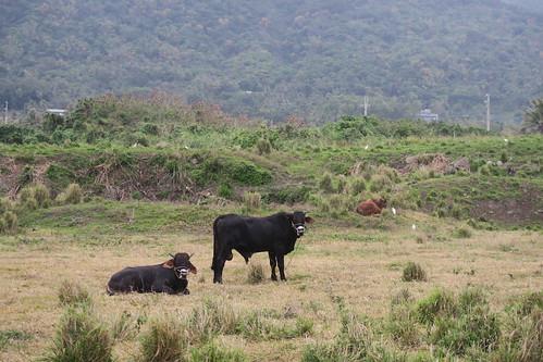 第三天快速行程:騎腳塔車遊馬太鞍、路上的黑牛、都歷東管處(13.6ys)