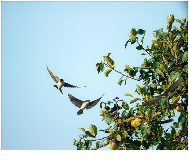 Huiszwaluwen in en bij een appelboom van een boomgaard. Hoeveel zwaluwen zie je? (ISO500 | f/6,3 | 1/2000 | 27,4 meter afstand | 30% gecropt)