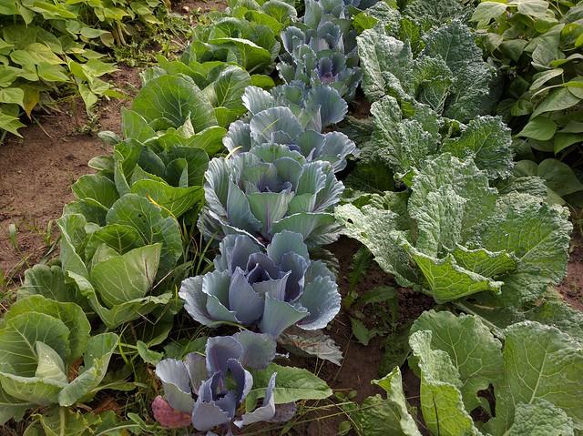 Sarah Longstreth's organic greens
