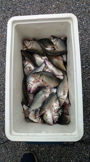 Cooler full of white perch