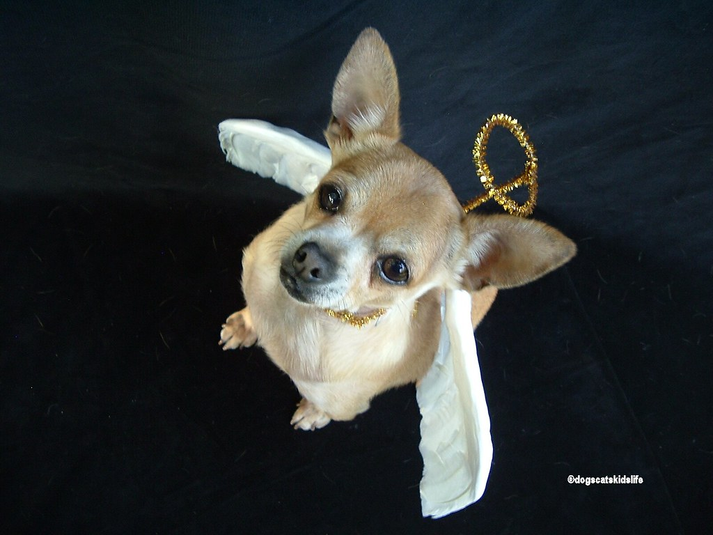 Timmy The Chihuahua Is A Christmas Angel Timmy Is