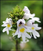 Image result for eyebright plant