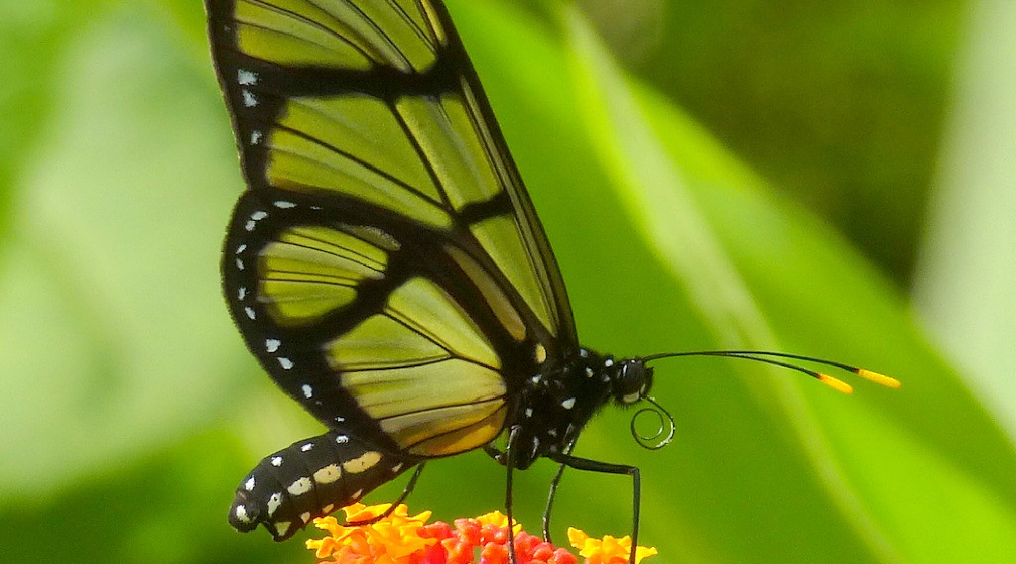 Glasswing butterfly, Methona sp. on Lantana camara