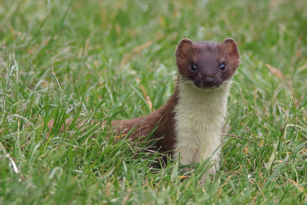 Image result for stoat
