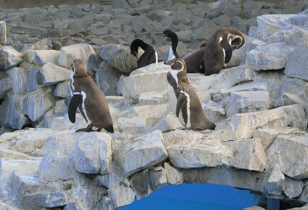 Pinguinos Parque De Las Leyendas Lima Peru